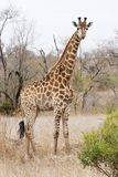 Giraffe in dry thornveld. A giraffe, giraffa camelopardalis, with oxpecker on neck standing alert in dry bushveld Stock Photos
