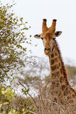 Giraffe in Dry Trees. A giraffe searches for leaves to eat during the dry season in Kruger National Park in South Africa Stock Images