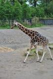Giraffe. A giraffe at the Dublin zoo stock images
