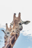 Giraffe duo head shot - vertical Royalty Free Stock Photography