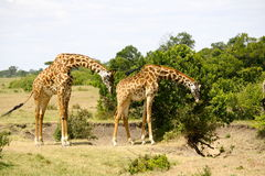 Giraffe Duo in kenya Stock Photo