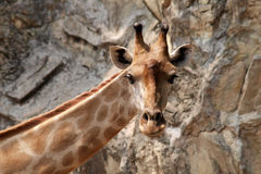Giraffe in dusit zoo Royalty Free Stock Images