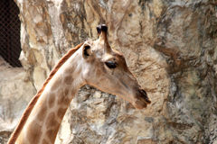 Giraffe in dusit zoo Royalty Free Stock Photos