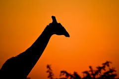Giraffe at dusk Stock Images