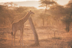 Giraffe at dusk Stock Photos