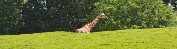 A giraffe in a dutch zoo Royalty Free Stock Photography