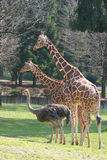 Giraffe e avestruz Fotos de Stock