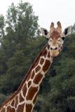 Giraffe e foto cheia da garganta Fotografia de Stock