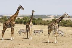 Giraffe e zebre Immagini Stock Libere da Diritti