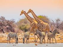 Giraffe e zebre a waterhole Immagini Stock Libere da Diritti