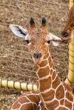 Giraffe ear lick Royalty Free Stock Images