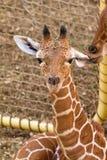 Giraffe ear lick royalty free stock images