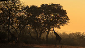 Giraffe in early morning light Royalty Free Stock Image