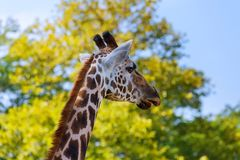 Giraffe eat leaves national park in the plants royalty free stock image