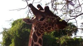 Giraffe eat leaves from tree. stock video