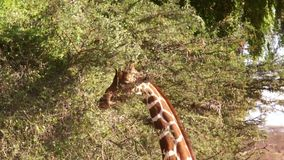 Giraffe eat leaves from tree. stock video footage