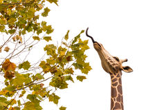 Giraffe eat maple. The statue of giraffe is eating maple on white sky (Isolated Royalty Free Stock Image