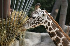 Giraffe Eating. A giraffe eating hay in detail stock photos