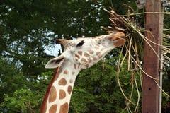 Giraffe Eating. A giraffe reaching high for food Stock Photos