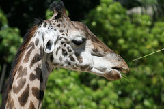 Giraffe eating Royalty Free Stock Photo