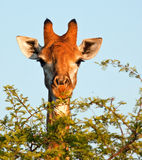 Giraffe eating. From a thorn tree with a bright blue sky Stock Photography