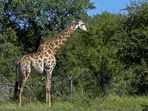 Giraffe Eating Stock Images