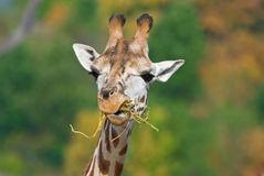 Free Giraffe Eating Stock Image - 16448681
