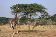 Giraffe eating Stock Image