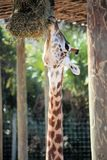 Giraffe Eating Royalty Free Stock Photos