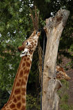 Giraffe eating. Two giraffes eating leafs from tree Royalty Free Stock Image