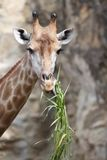 Giraffe eating Royalty Free Stock Photography