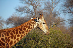 Giraffe eating. South Africa - Kruger National Park stock photography
