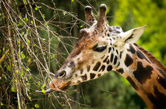 Giraffe eating Royalty Free Stock Photo