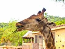 Giraffe. Is eating Stock Photography