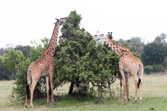 Giraffe Eating Royalty Free Stock Images