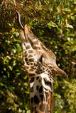 Giraffe Eating. Giraffe with tongue extended eating from a eucalyptus tree Royalty Free Stock Photo