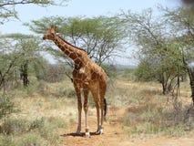 Giraffe eating Acacia Africa stock photo