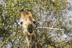 Giraffe eating acacia branches in kruger park Royalty Free Stock Photography