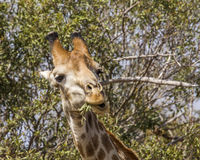 Giraffe eating acacia branches in kruger park Royalty Free Stock Images