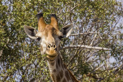 Giraffe eating acacia branches in kruger park Stock Images