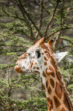Giraffe Eating Acacia Leaves Royalty Free Stock Photography
