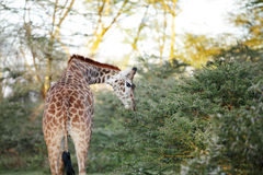 A Giraffe eating acacia leaves Stock Images