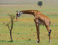 Giraffe is eating acacia savannah. Close-up. Kenya. Tanzania. East Africa. An excellent illustration stock photography