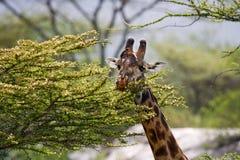 Giraffe is eating acacia savannah. Close-up. Kenya. Tanzania. East Africa. Stock Image