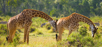 Giraffe is eating acacia savannah. Close-up. Kenya. Tanzania. East Africa. An excellent illustration royalty free stock images
