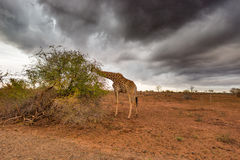 Giraffe eating from Acacia tree in the bush, dramatic stormy sky. Wildlife safari in the Kruger National Park, major travel destin Royalty Free Stock Image