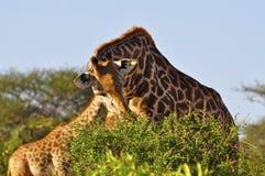Giraffe eating Africa stock photo