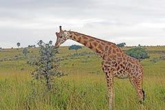 Giraffe Eating on the African Savannah Royalty Free Stock Photo