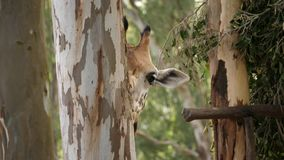 Closeup of a giraffe eating the barks from an eucalyptus tree trunk on a bright sunny day