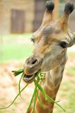 Giraffe eating beans Stock Photos